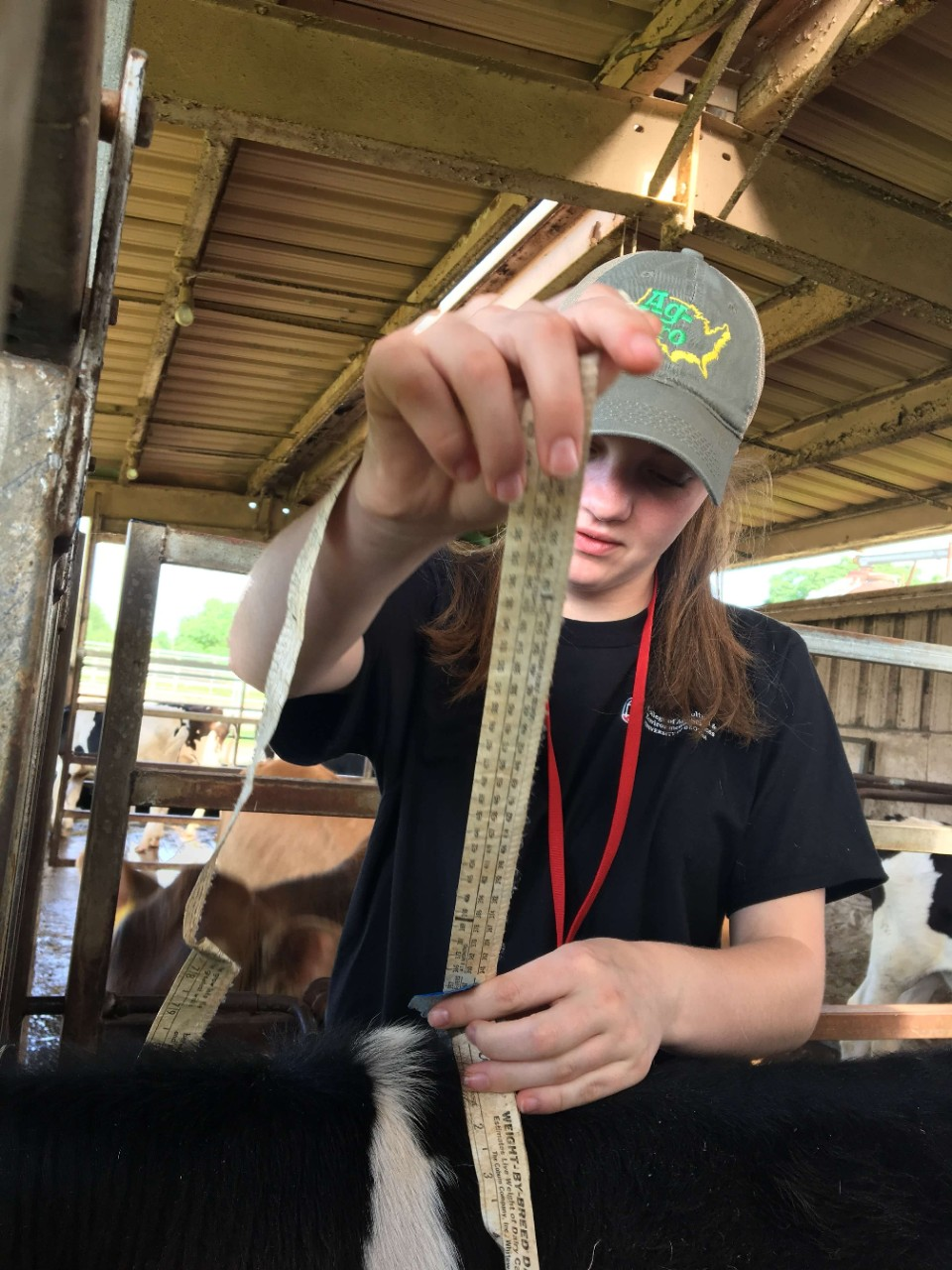 Animal Science in Action participant measuring cow