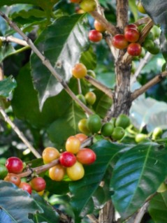 Coffe Cherries 1