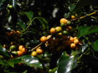 Coffee Cherries 2