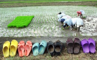 13 Paddy Field_ Halalipour