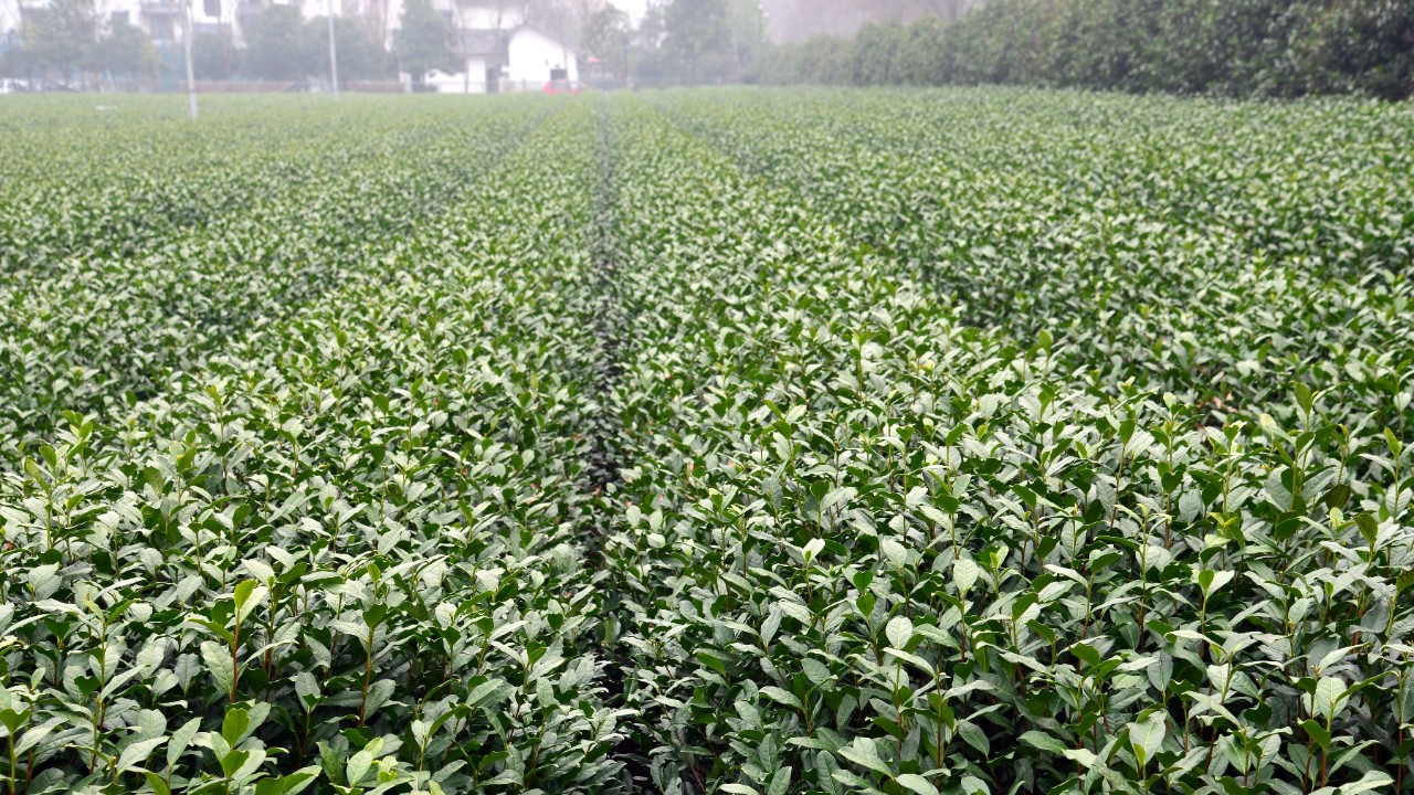 Travel funds used to help identify tea varieties that might work well in the American South